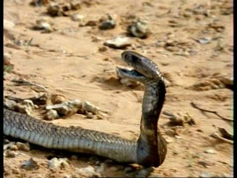 cu spitting cobra, hemachatus haemachatus, head in profile, lifts up head, africa; sequence of clips, special terms apply - spraying stock videos & royalty-free footage