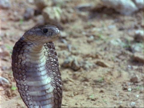 CU Spitting Cobra on guard, Kenya