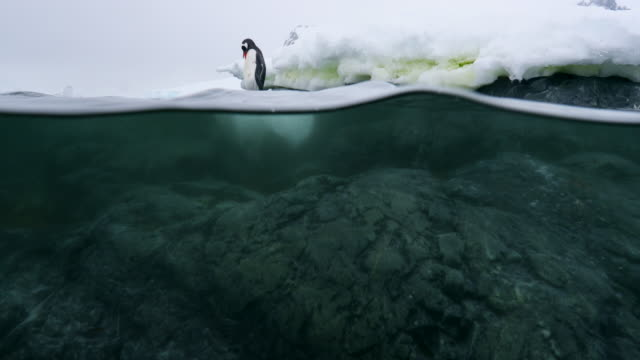 Split Shot of Gentoo Penguin