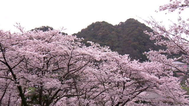 Spoil Tip And Cherry Blossoms, Fukuoka, Japan