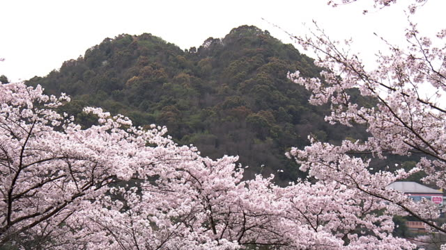 spoil tip and cherry blossoms, fukuoka, japan - fukuoka prefecture stock videos and b-roll footage