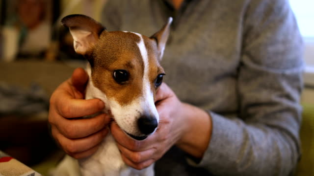 spoiled jack russell terrier sits next to its owner - jack russell terrier stock videos & royalty-free footage