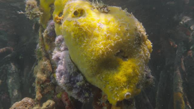 sponges grow on submerged mangrove root, belize - スポンジ点の映像素材/bロール