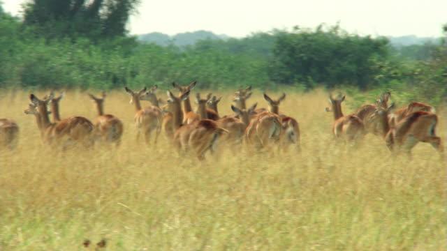 spooked herd of impala - artbeats bildbanksvideor och videomaterial från bakom kulisserna