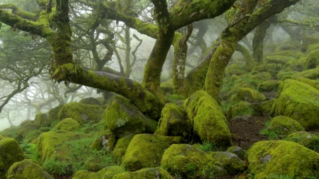 spooky old oak forest, wistman's wood, dartmoor, two bridges, princetown, devon, england, united kingdom, europe - fern stock videos & royalty-free footage