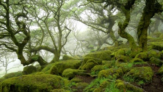spooky old oak forest, wistman's wood, dartmoor, two bridges, princetown, devon, england, united kingdom, europe - trunk tree stock videos and b-roll footage