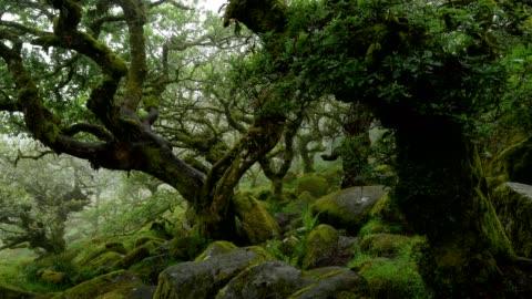 spooky old oak forest, wistman's wood, dartmoor, two bridges, princetown, devon, england, united kingdom, europe - deciduous tree stock videos & royalty-free footage
