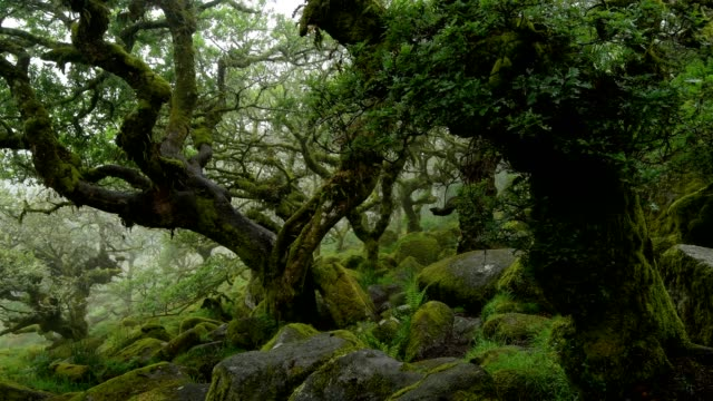 vídeos de stock e filmes b-roll de spooky old oak forest, wistman's wood, dartmoor, two bridges, princetown, devon, england, united kingdom, europe - árvore de folha caduca