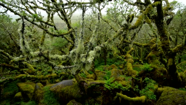 spooky old oak forest, wistman's wood, dartmoor, two bridges, princetown, devon, england, united kingdom, europe - シダ点の映像素材/bロール