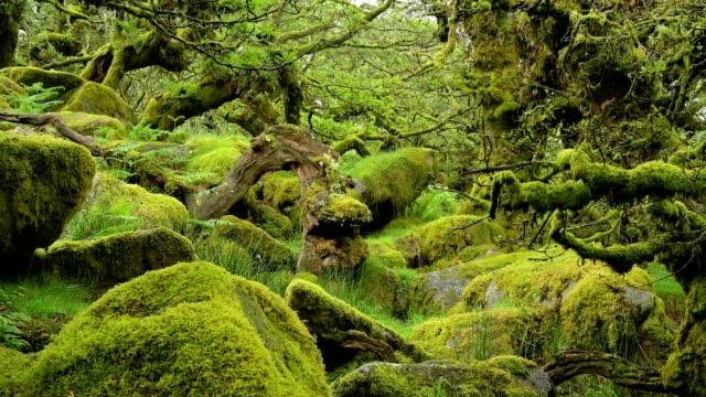 spooky old oak forest, wistman's wood, dartmoor, two bridges, princetown, devon, england, united kingdom, europe - moss stock videos & royalty-free footage