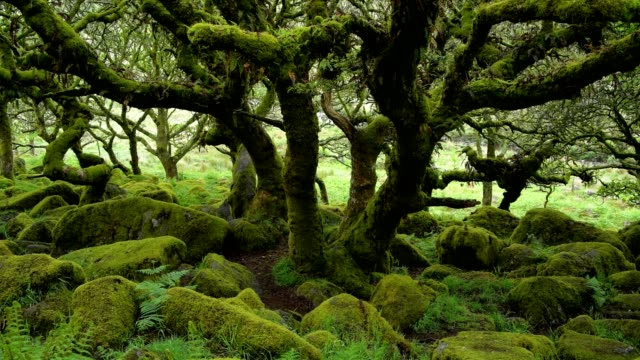 vidéos et rushes de spooky old oak forest, wistman's wood, dartmoor, two bridges, princetown, devon, england, united kingdom, europe - paysage enchanteur