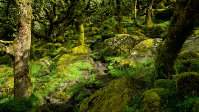 spooky old oak forest, wistman's wood, dartmoor, two bridges, princetown, devon, england, united kingdom, europe - moss stock videos & royalty-free footage