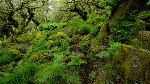 spooky old oak forest, wistman's wood, dartmoor, two bridges, princetown, devon, england, united kingdom, europe - dartmoor stock videos & royalty-free footage