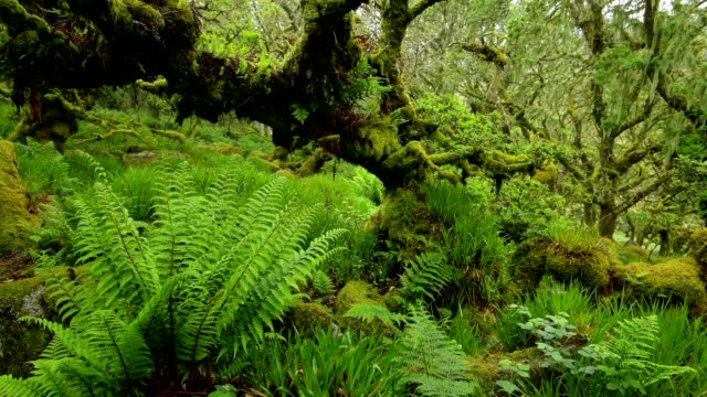 spooky old oak forest, wistman's wood, dartmoor, two bridges, princetown, devon, england, united kingdom, europe - national park stock videos & royalty-free footage