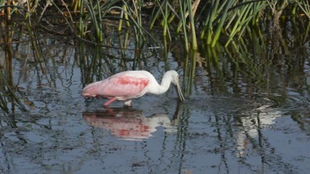 spoonbill grazing under water - water bird stock videos & royalty-free footage