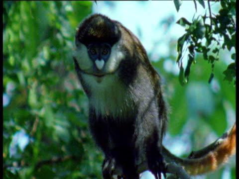 vídeos y material grabado en eventos de stock de spot nosed guenon calls in tree, gombe national park, tanzania - parque nacional de gombe stream