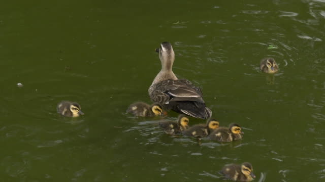 a spot-billed duck and its young - jungvogel stock-videos und b-roll-filmmaterial