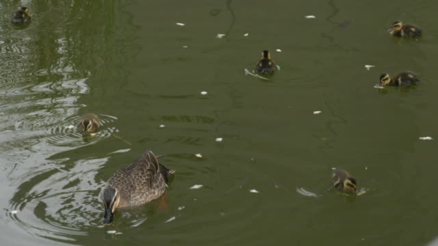 a spot-billed duck and its young - duck stock videos and b-roll footage