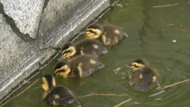 stockvideo's en b-roll-footage met a spot-billed duck and its young - eend watervogel