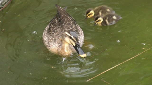 A spot-billed duck and its young