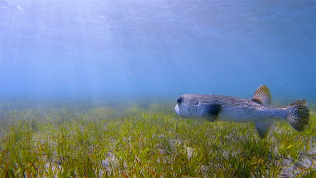 spot-fin porcupinefish / diodon hystrix swimming on seagrass bed - red sea / marsa alam - sea grass plant video stock e b–roll