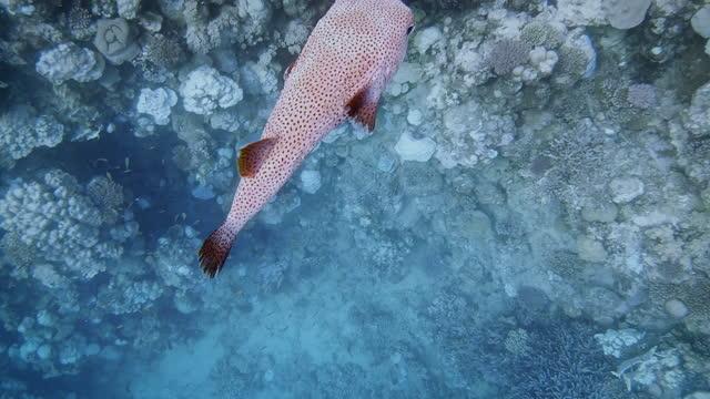 スポットフィンヤマアラシ(ディオドンヒュトリクス)紅海のファムリーバルーンフィッシュ - マルサアラム - エジプト - simply red点の映像素材/bロール