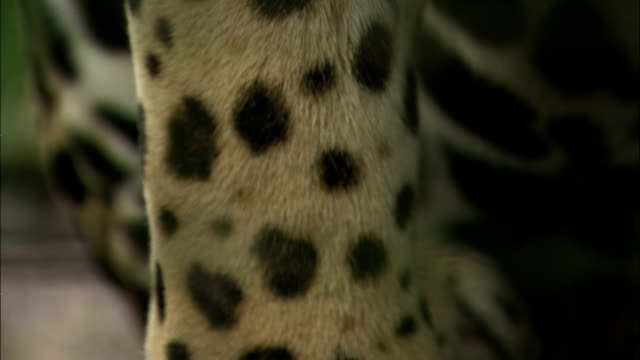 spots cover the fur of a jaguar. - captive animals stock videos & royalty-free footage
