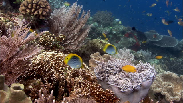 spot-tail butterflyfish (chaetodon ocellicaudus) on coral reef, west papua, indonesia - butterflyfish stock videos & royalty-free footage