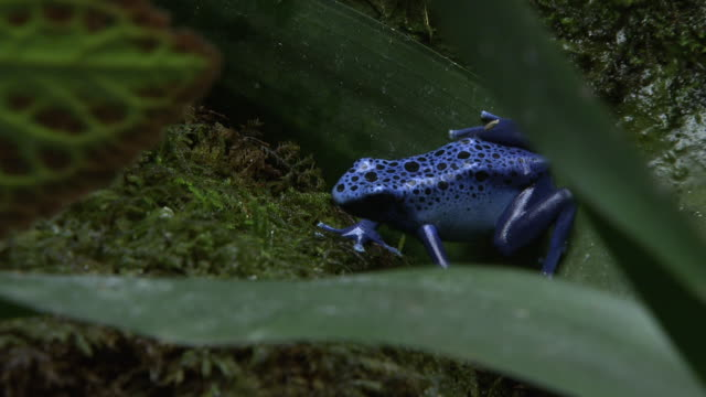 a spotted blue frog crawls over moss. - moss stock videos & royalty-free footage