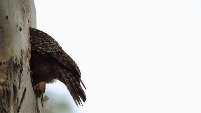 spotted broadwing hawk tail feathers. - 鳥の鉤爪点の映像素材/bロール