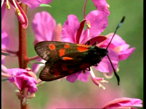 cu spotted burnet moth on flower - animal colour stock videos & royalty-free footage