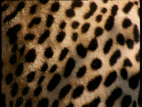 vídeos de stock, filmes e b-roll de spotted coat of leopard - pelo animal