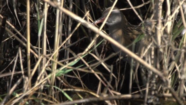 stockvideo's en b-roll-footage met gevlekte waterhoen (porzana porzana) - steppe
