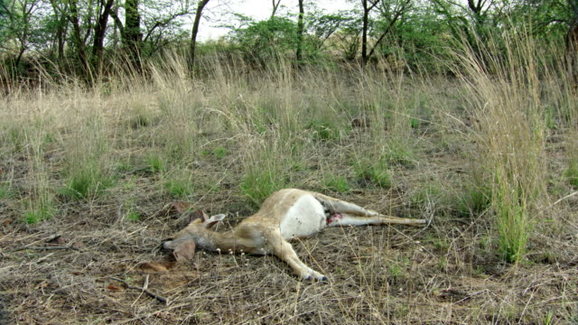 spotted deer dead body - death stock videos & royalty-free footage