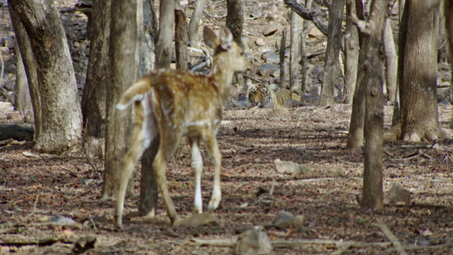spotted deer fawn crossing in front of tiger - fawn stock videos & royalty-free footage