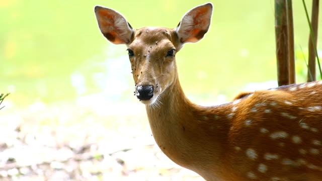 ワヤナード、ケララ州、インドの斑点を付けられたシカは。