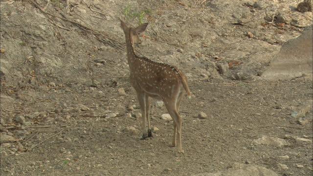 vídeos de stock, filmes e b-roll de a spotted deer looks around the site - corça