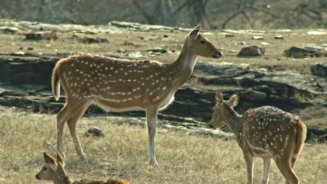 spotted deer on grass field - doe stock videos & royalty-free footage