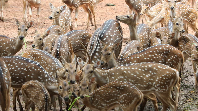 spotted deer seen grazing in an enclosure at at the bangladesh national zoo on august 17, 2021 in dhaka, bangladesh. the zoo is set to reopen after a... - spotted stock videos & royalty-free footage