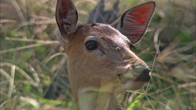 a spotted deer smelling around / pov shot / ranthambore national park - antelope stock videos & royalty-free footage