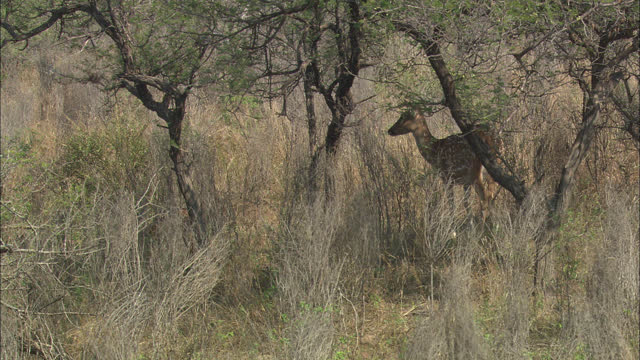 spotted deer standing behind the tree, her baby grazing around the site - wide shot - antelope stock videos & royalty-free footage