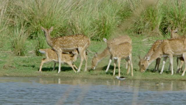 spotted deer - doe stock videos & royalty-free footage