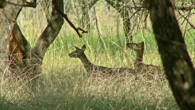 spotted deer - fawn stock videos & royalty-free footage