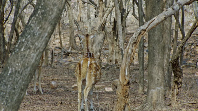 spotted deer watching the tiger - hiding stock videos & royalty-free footage