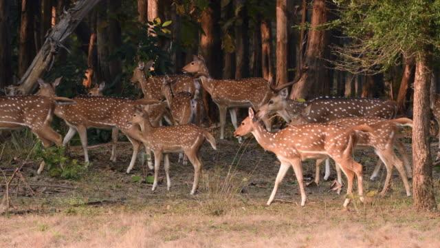 vídeos de stock, filmes e b-roll de veados manchados estão alertas por causa de predadores ao redor - animais caçando