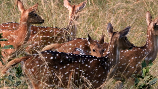 spotted deers are alert because of predators around - herd stock videos & royalty-free footage
