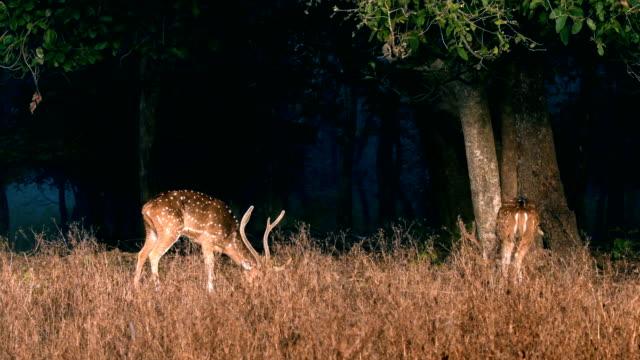 vídeos de stock, filmes e b-roll de cervos manchados ou pastagem chital - manada
