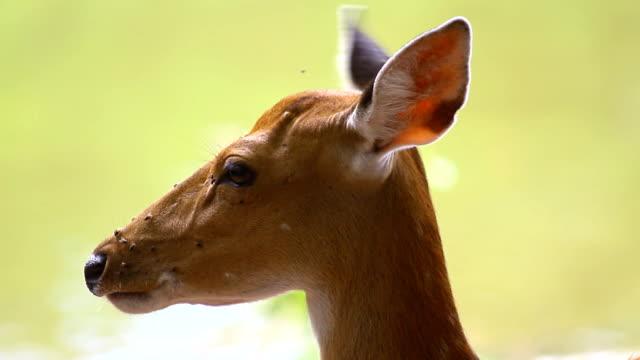 Gefleckte Rehe oder Chitals (Achse-Achse) im natürlichen Lebensraum stehen in der Nähe von Wasser-Fluss im Wald, wildes Tier