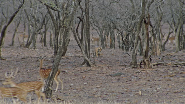 vidéos et rushes de spotted deers running across the tiger - groupe d'animaux
