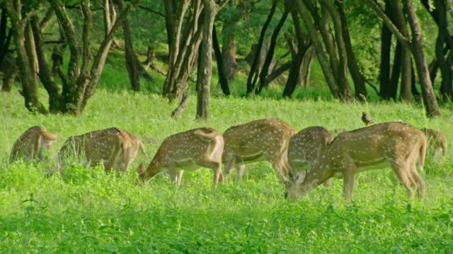 spotted deers - alertness stock videos & royalty-free footage